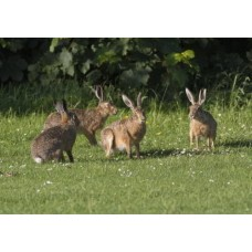 Brown Hare 7