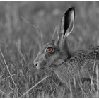 Brown Hare 15