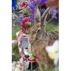 Brown Hare 35