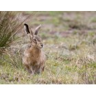 Brown Hare 71