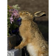 Brown Hare 139